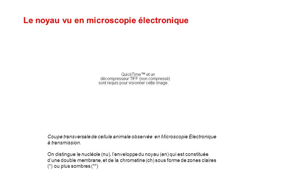 Le noyau vu en microscopie électronique Coupe transversale de cellule animale observée en Microscopie Electronique à transmission. On distingue le nuc