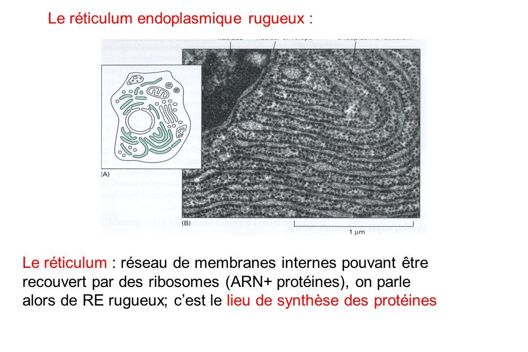Le réticulum endoplasmique rugueux : Le réticulum : réseau de membranes internes pouvant être recouvert par des ribosomes (ARN+ protéines), on parle a