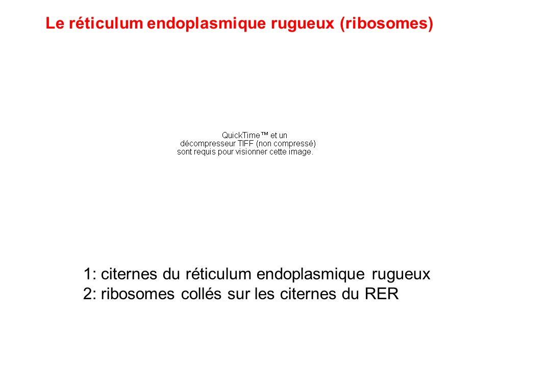 1: citernes du réticulum endoplasmique rugueux 2: ribosomes collés sur les citernes du RER Le réticulum endoplasmique rugueux (ribosomes)