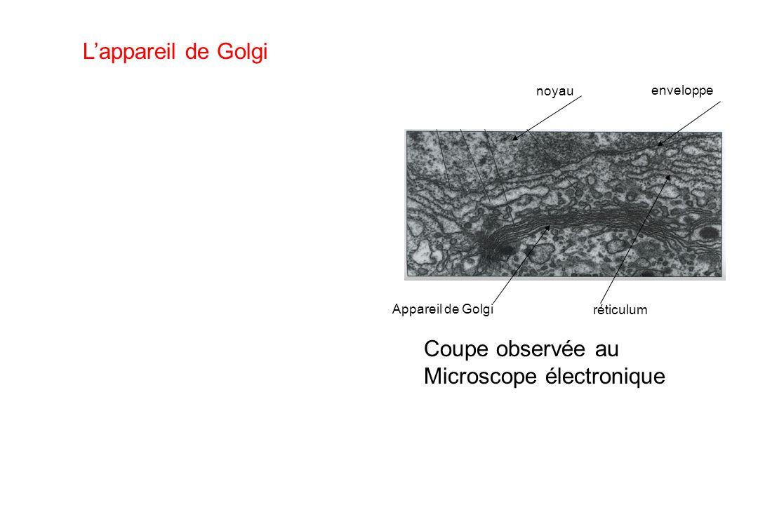 Lappareil de Golgi Coupe observée au Microscope électronique noyau enveloppe Appareil de Golgi réticulum