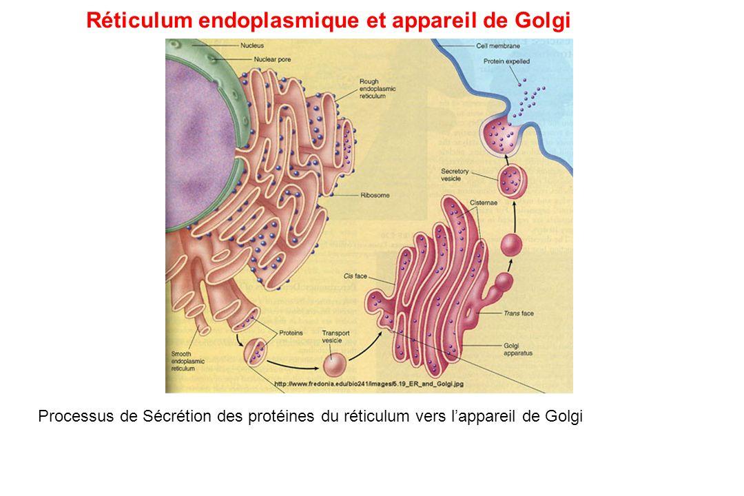 Processus de Sécrétion des protéines du réticulum vers lappareil de Golgi Réticulum endoplasmique et appareil de Golgi