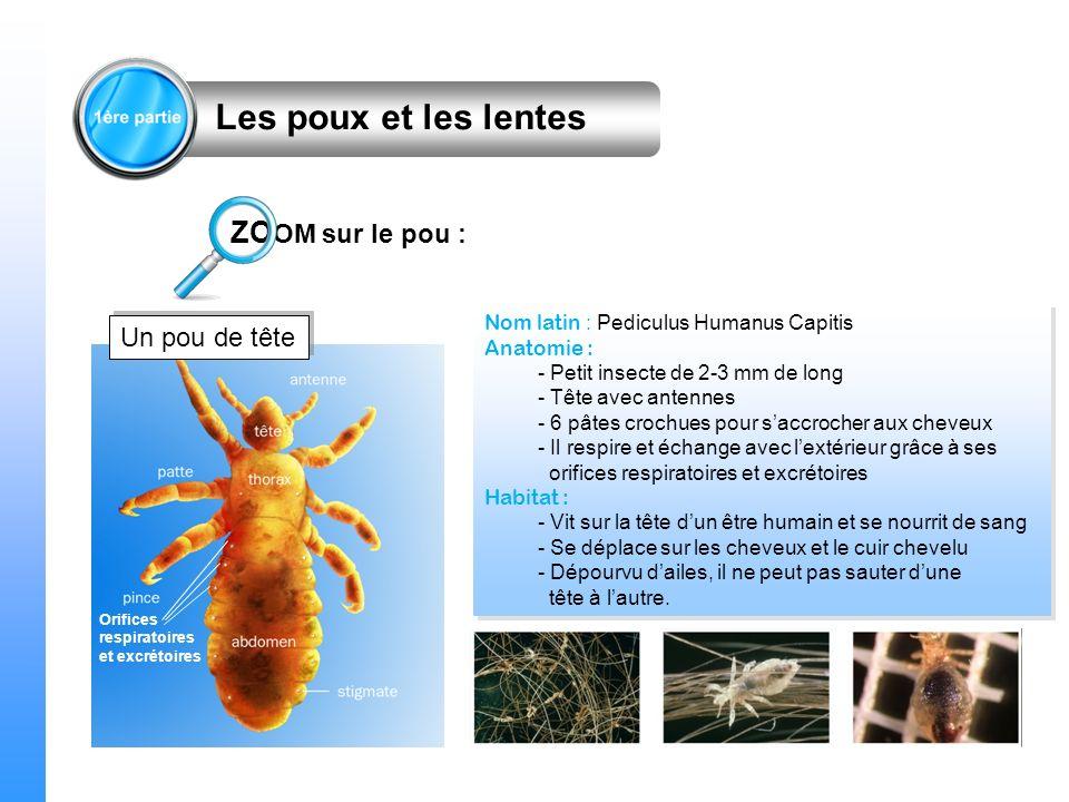 Un pou de tête Nom latin : Pediculus Humanus Capitis Anatomie : - Petit insecte de 2-3 mm de long - Tête avec antennes - 6 pâtes crochues pour saccroc