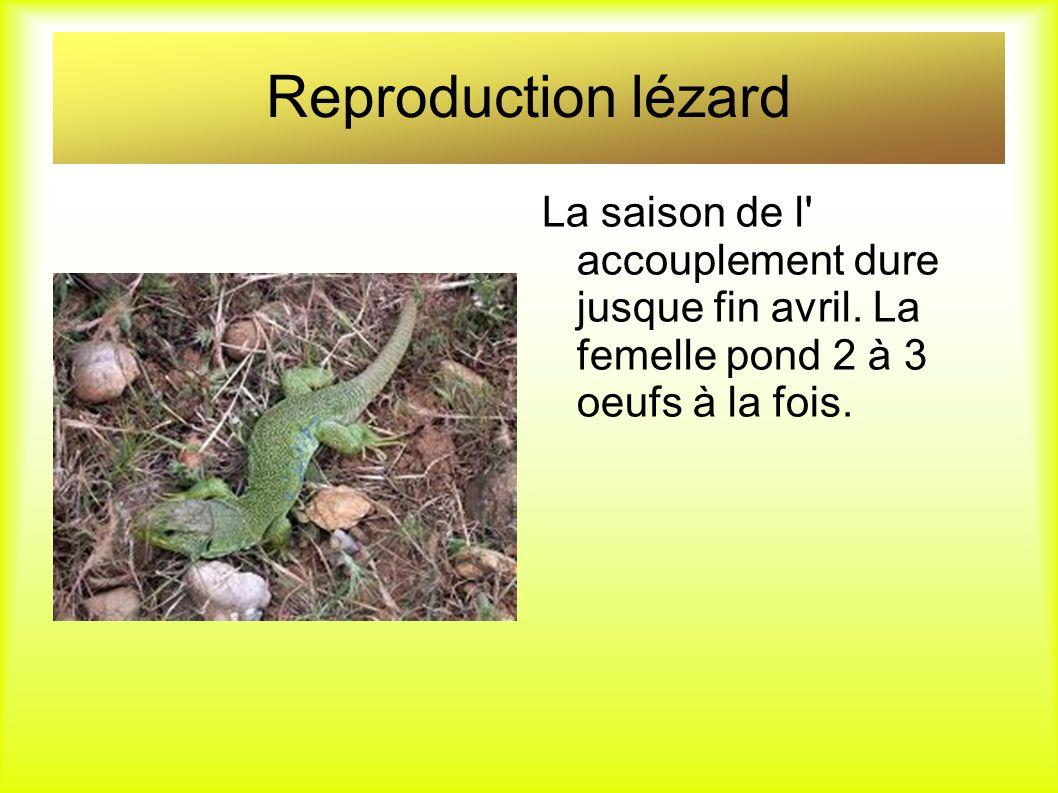 Reproduction lézard La saison de l' accouplement dure jusque fin avril. La femelle pond 2 à 3 oeufs à la fois.