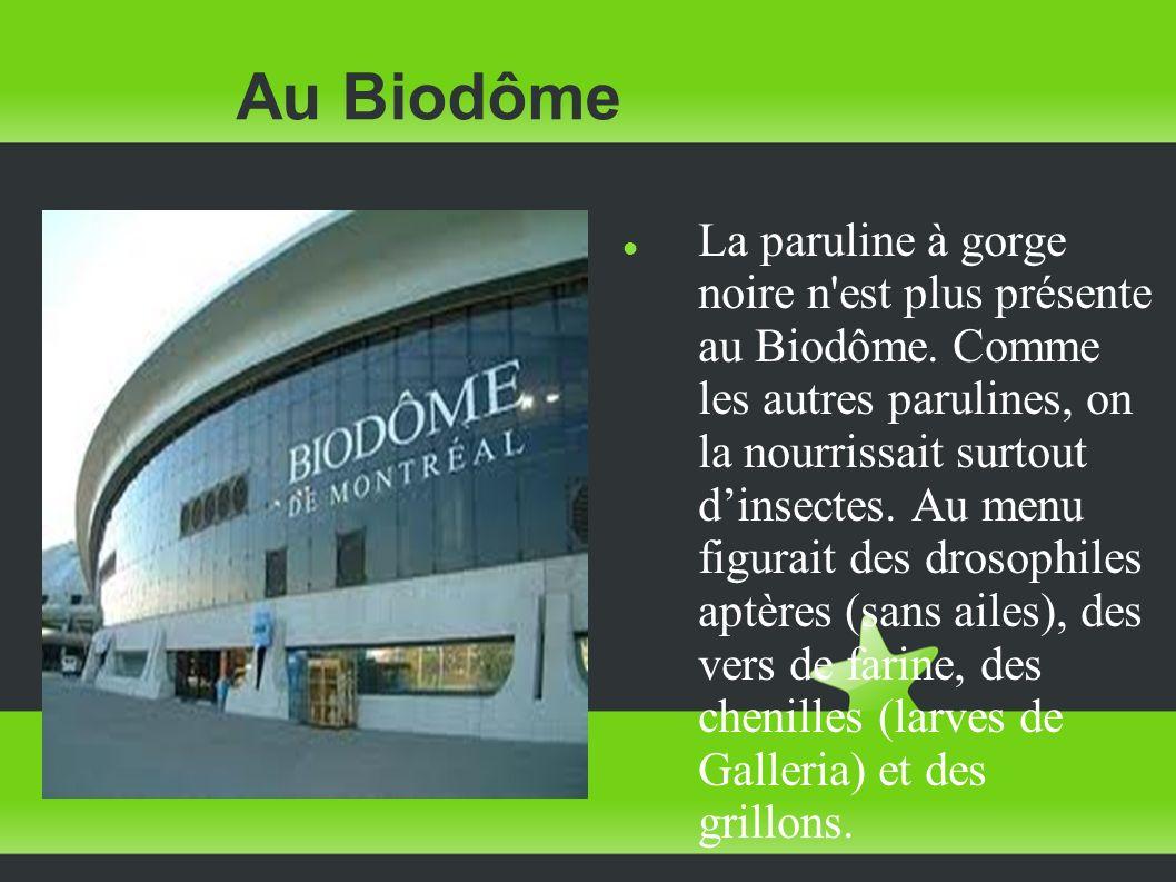Au Biodôme La paruline à gorge noire n'est plus présente au Biodôme. Comme les autres parulines, on la nourrissait surtout dinsectes. Au menu figurait