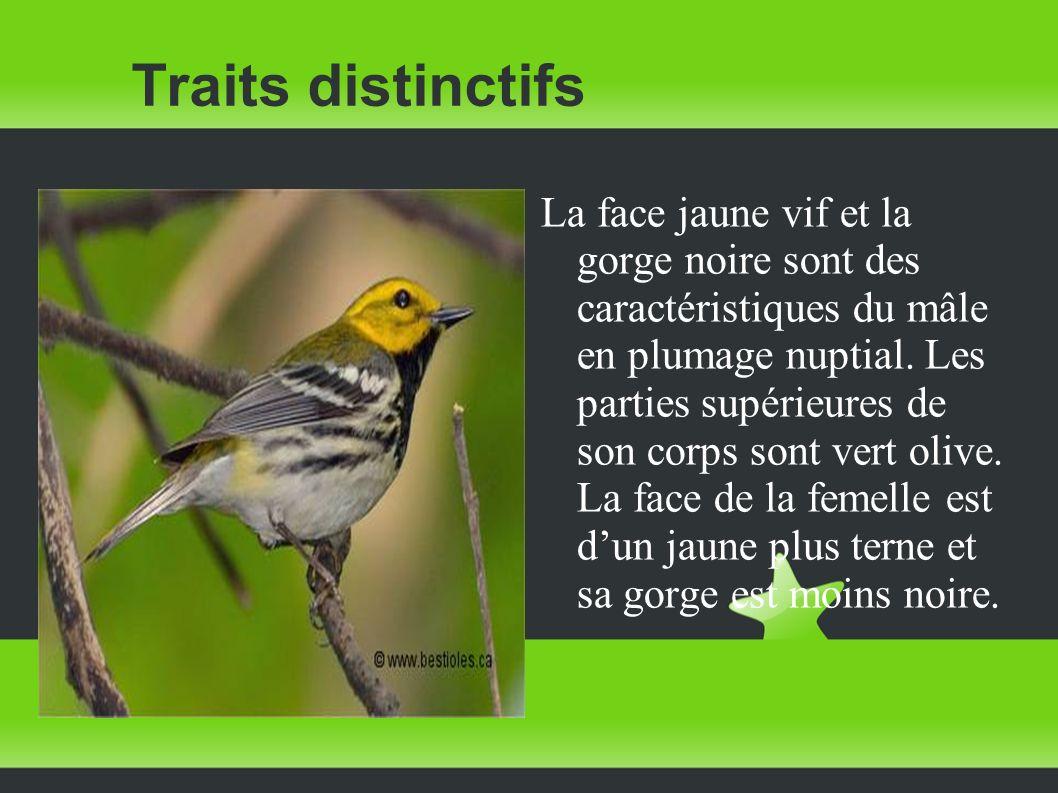 Traits distinctifs La face jaune vif et la gorge noire sont des caractéristiques du mâle en plumage nuptial. Les parties supérieures de son corps sont