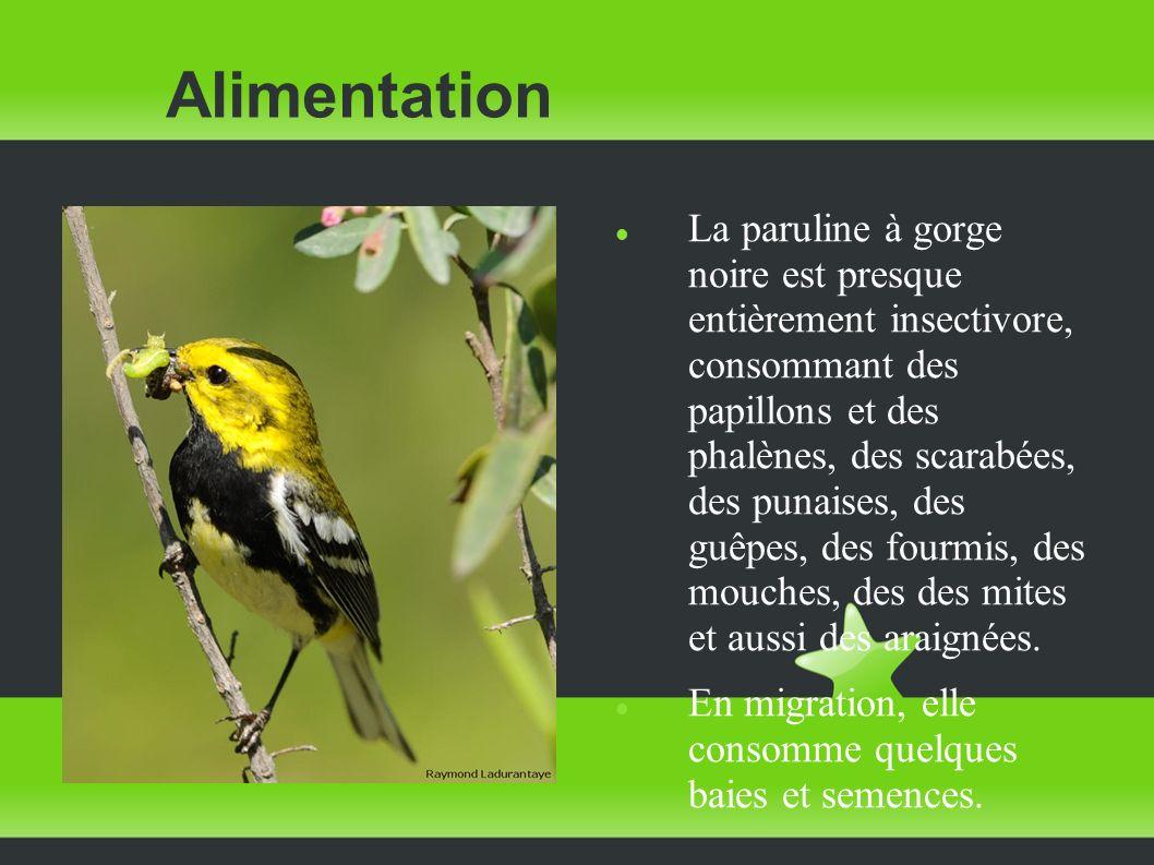 Alimentation La paruline à gorge noire est presque entièrement insectivore, consommant des papillons et des phalènes, des scarabées, des punaises, des