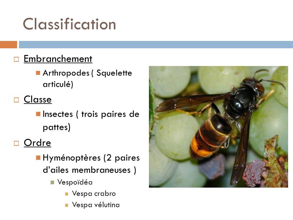Classification Embranchement Arthropodes ( Squelette articulé) Classe Insectes ( trois paires de pattes ) Ordre Hyménoptères (2 paires dailes membrane