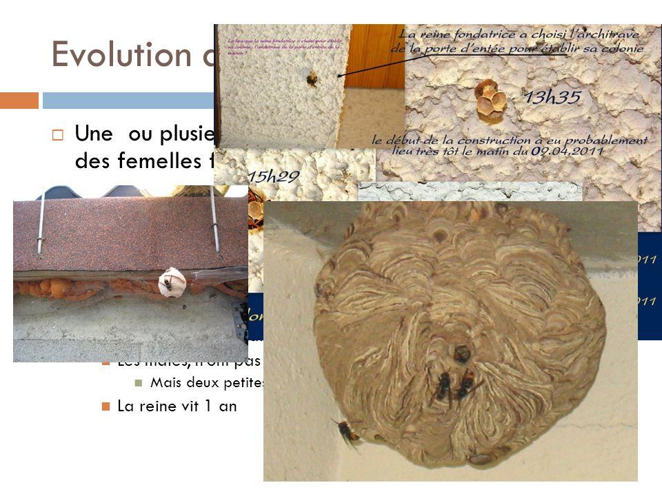 Evolution du nid Une ou plusieurs poteries ont certainement accueilli des femelles fondatrices hivernantes Février ou mars, le réveil des reines Créat