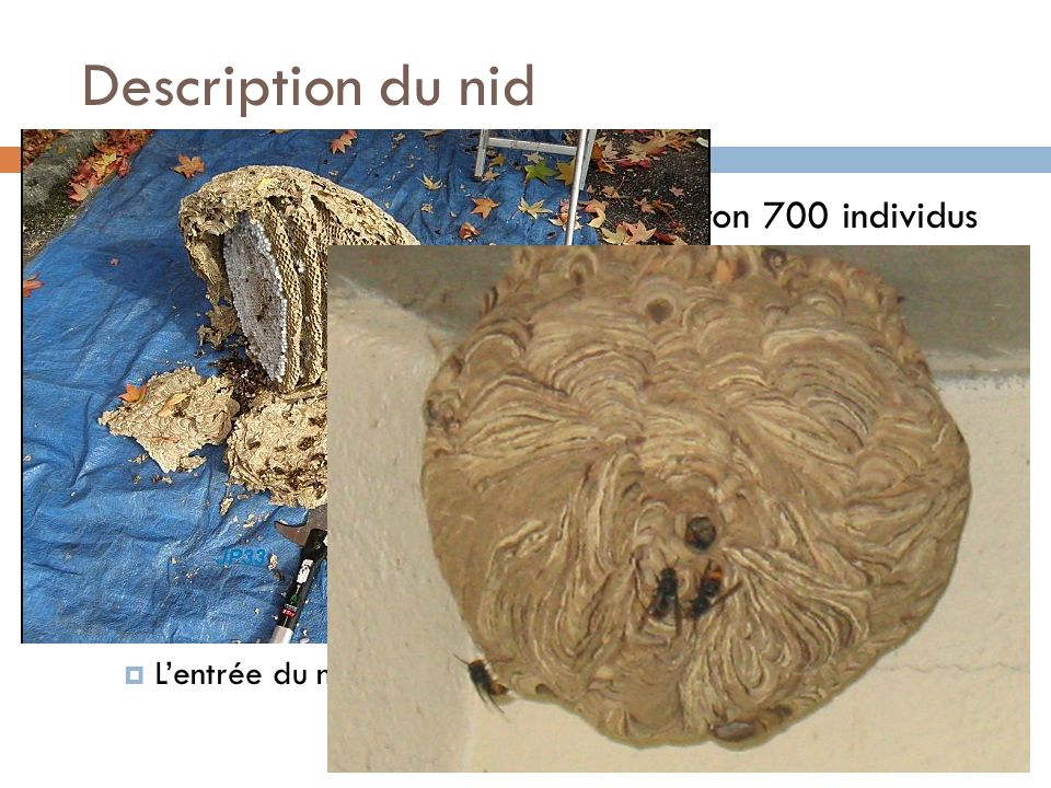 Description du nid Frelon dEurope; Vespa Crabro environ 700 individus Frelon asiatique; Vespa Vélutina 4 à 5 fois plus Dans la plupart des cas les nid