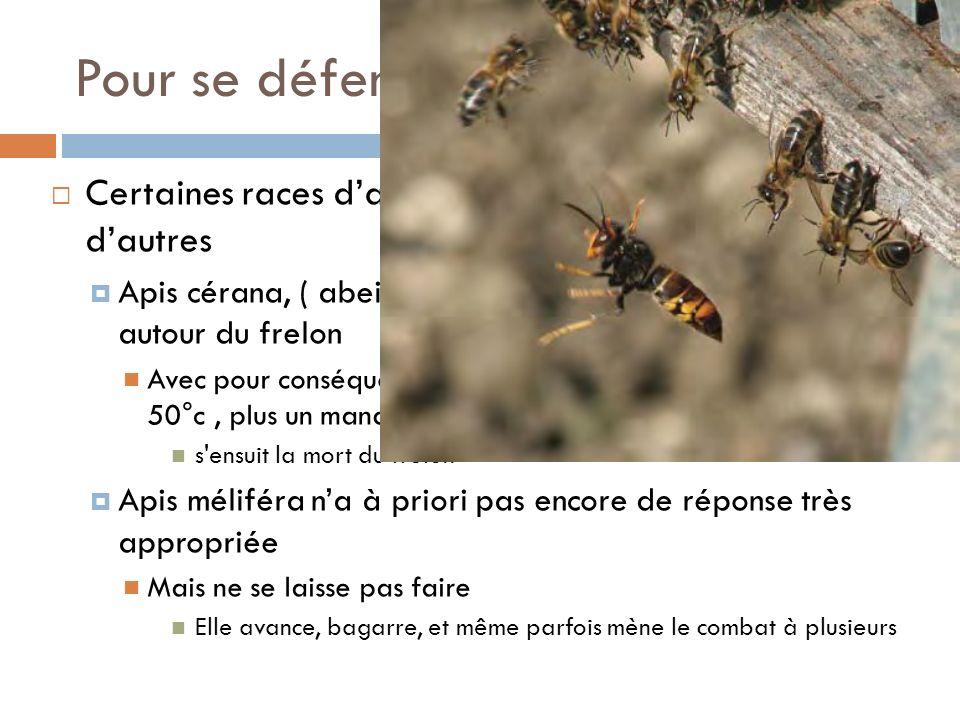 Pour se défendre Certaines races dabeilles se défendent mieux que dautres Apis cérana, ( abeille dasie) forme une boule dabeilles autour du frelon Ave