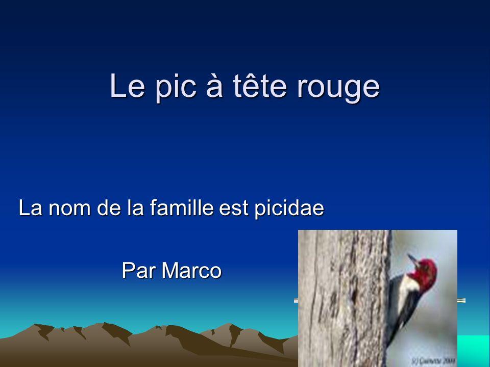 Le pic à tête rouge La nom de la famille est picidae Par Marco