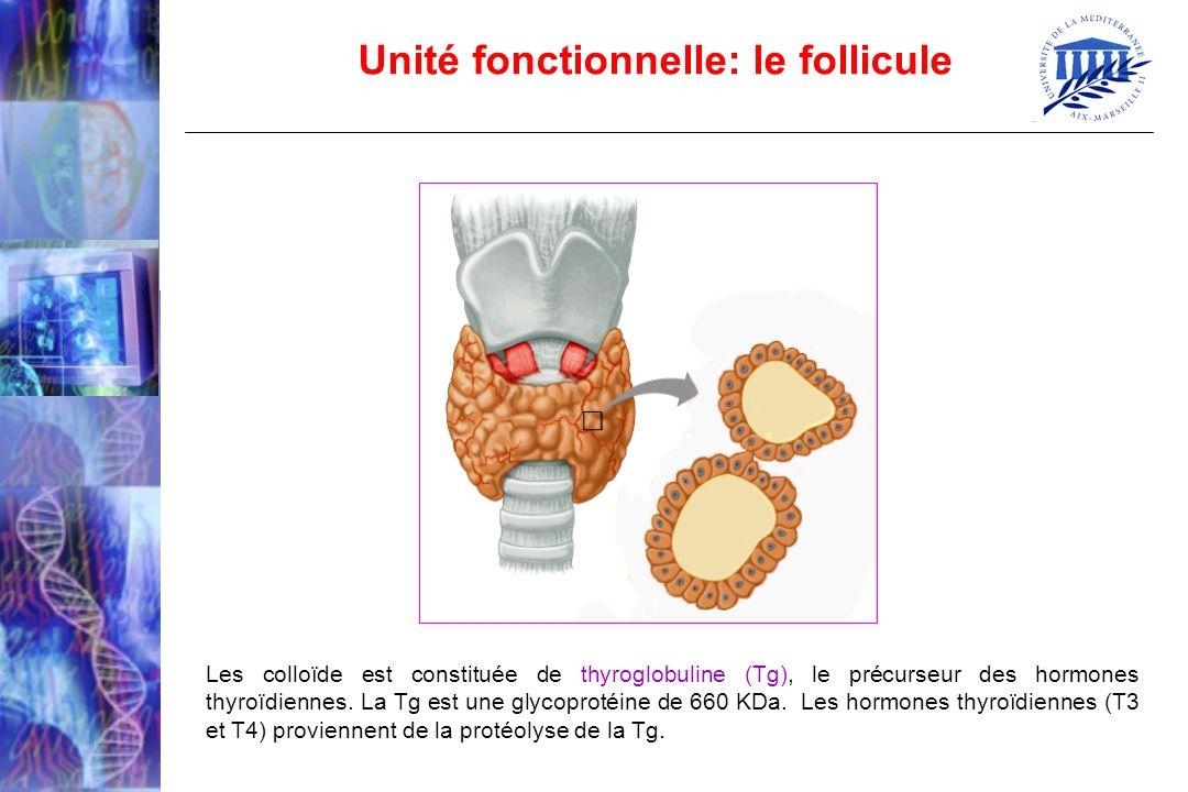 Unité fonctionnelle: le follicule Les colloïde est constituée de thyroglobuline (Tg), le précurseur des hormones thyroïdiennes. La Tg est une glycopro