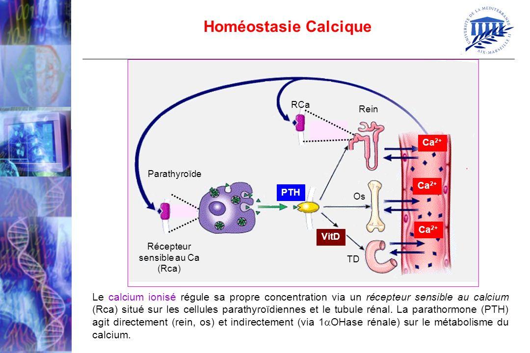 Homéostasie Calcique Le calcium ionisé régule sa propre concentration via un récepteur sensible au calcium (Rca) situé sur les cellules parathyroïdien