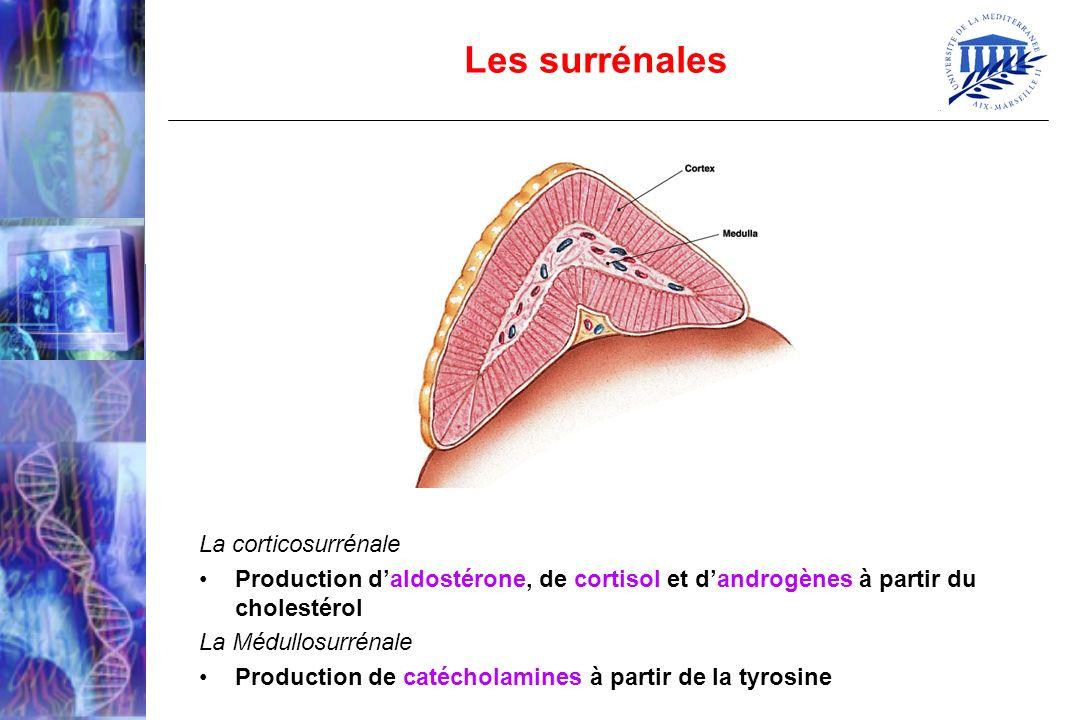 La corticosurrénale Production daldostérone, de cortisol et dandrogènes à partir du cholestérol La Médullosurrénale Production de catécholamines à par