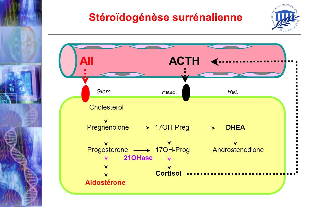 Stéroïdogénèse surrénalienne Cholesterol ACTH Progesterone 17OH-Prog Androstenedione Aldostérone Pregnenolone 17OH-Preg DHEA Cortisol 21OHase AII Glom