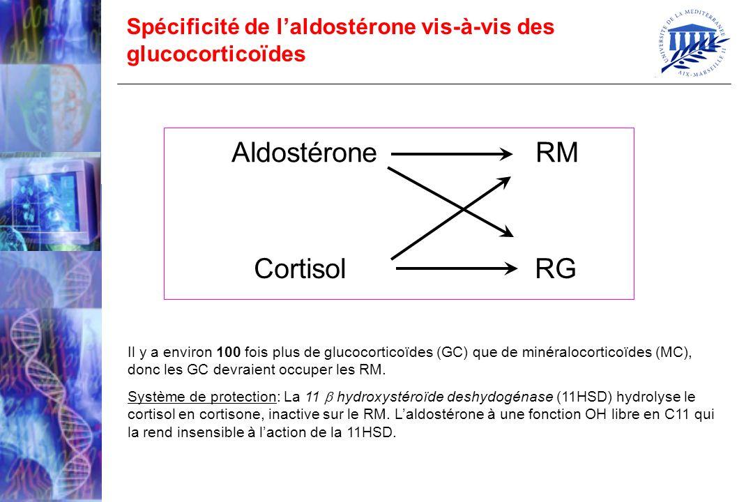 Spécificité de laldostérone vis-à-vis des glucocorticoïdes Aldostérone RM Cortisol RG Il y a environ 100 fois plus de glucocorticoïdes (GC) que de min