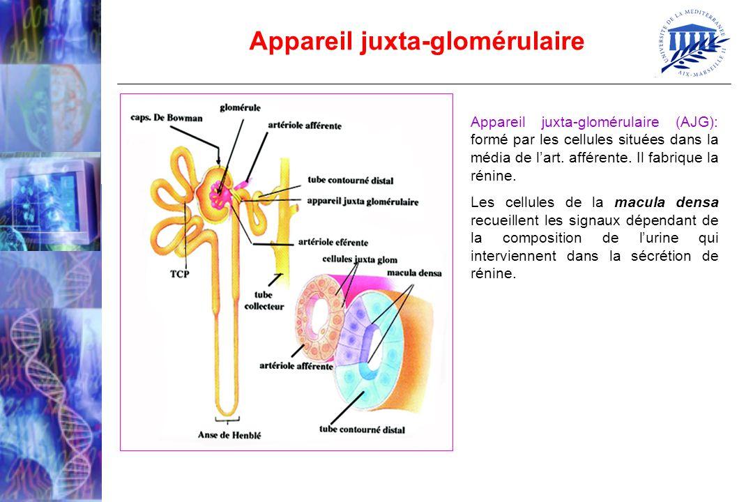 Appareil juxta-glomérulaire (AJG): formé par les cellules situées dans la média de lart. afférente. Il fabrique la rénine. Les cellules de la macula d