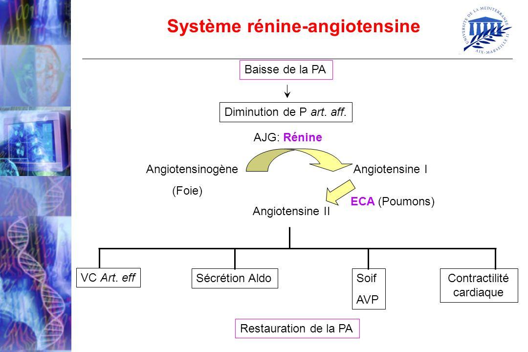 Baisse de la PA Diminution de P art. aff. AJG: Rénine Angiotensinogène Angiotensine I (Foie) Angiotensine II ECA (Poumons) VC Art. eff Sécrétion AldoS