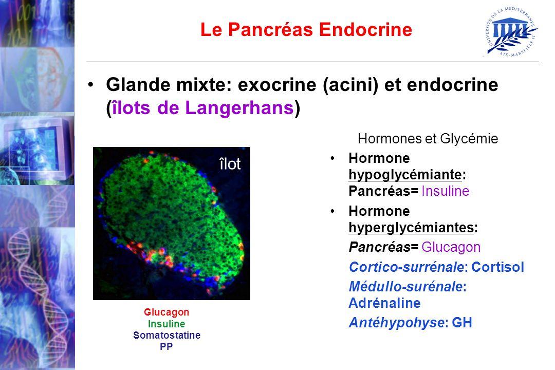 Le Pancréas Endocrine Glande mixte: exocrine (acini) et endocrine (îlots de Langerhans) Glucagon Insuline Somatostatine PP îlot Hormones et Glycémie H