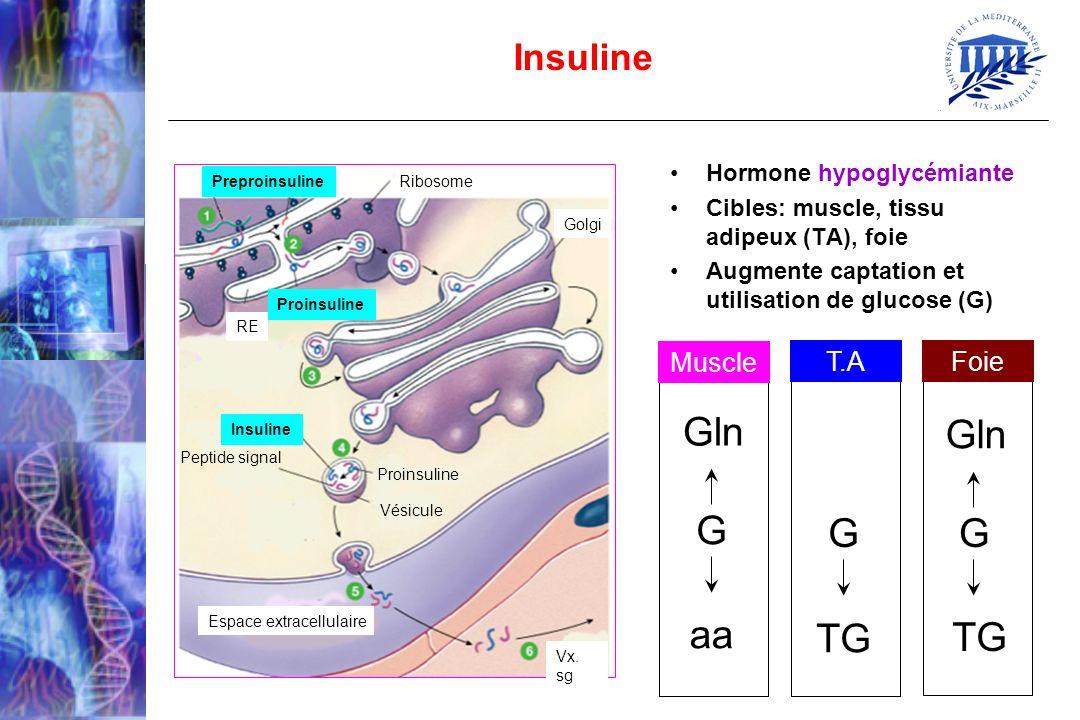 Hormone hypoglycémiante Cibles: muscle, tissu adipeux (TA), foie Augmente captation et utilisation de glucose (G) Insuline Preproinsuline Ribosome Pro