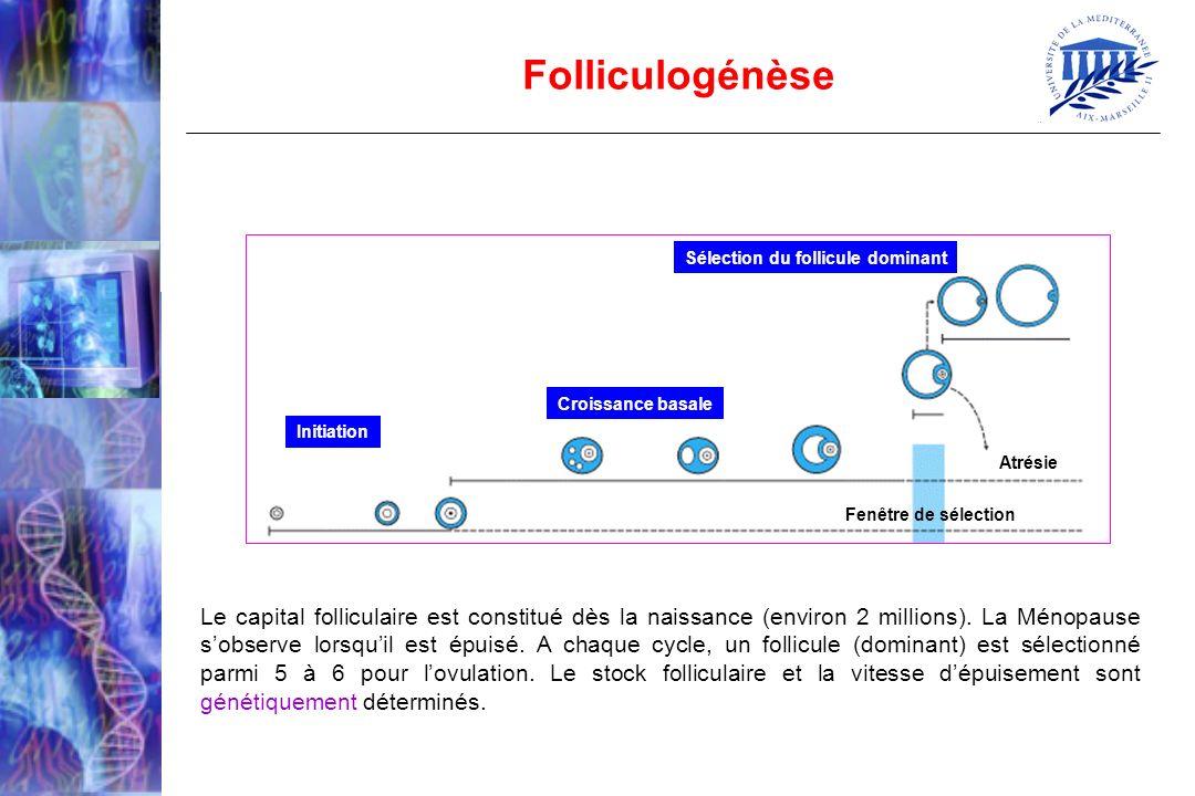 Initiation Croissance basale Sélection du follicule dominant Atrésie Fenêtre de sélection Folliculogénèse Le capital folliculaire est constitué dès la