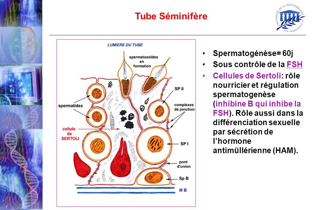 Tube Séminifère Spermatogénèse= 60j Sous contrôle de la FSH Cellules de Sertoli: rôle nourricier et régulation spermatogenèse (inhibine B qui inhibe l
