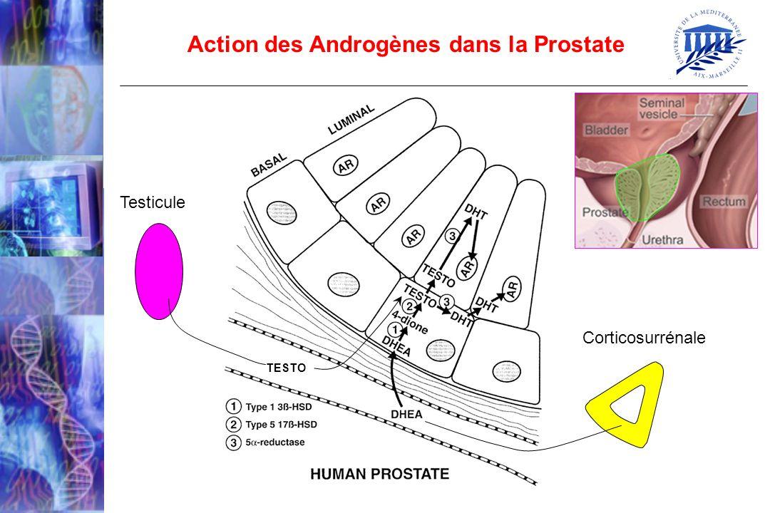 Action des Androgènes dans la Prostate TESTO Testicule Corticosurrénale