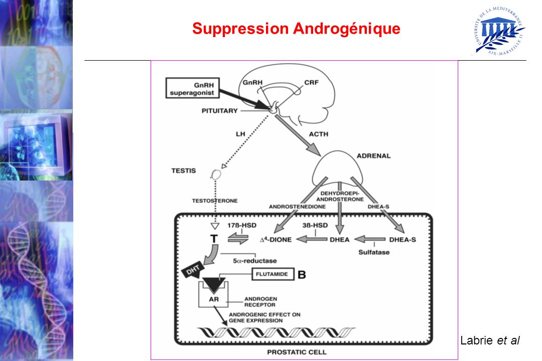 Labrie et al Suppression Androgénique