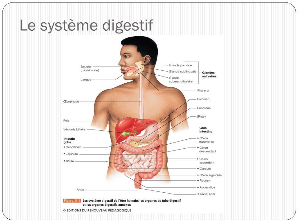 Bouche, pharynx et épiglotte