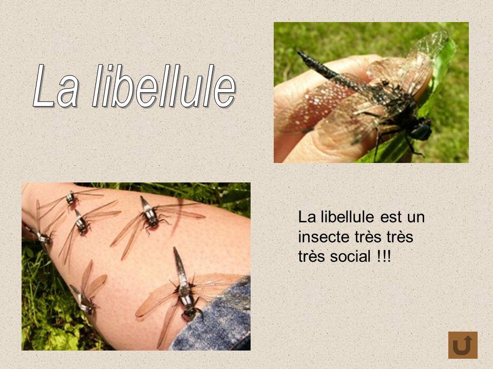 La libellule est un insecte très très très social !!!
