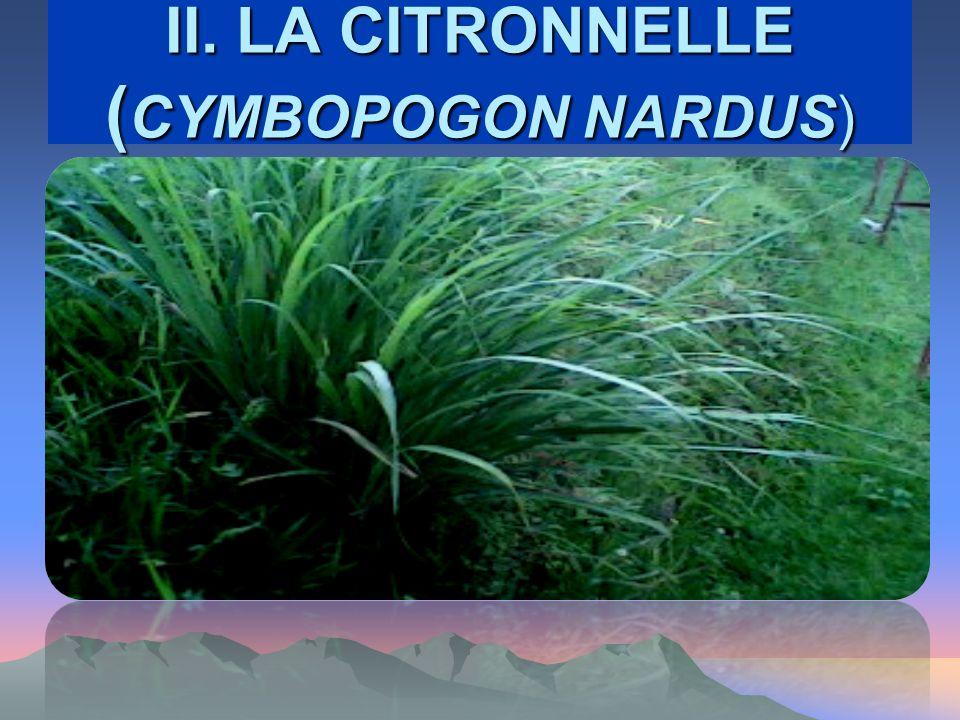 II. LA CITRONNELLE ( CYMBOPOGON NARDUS)