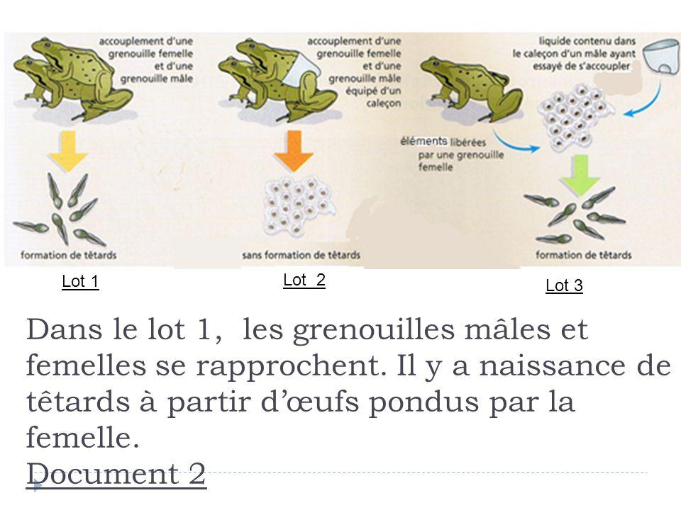 Dans le lot 1, les grenouilles mâles et femelles se rapprochent. Il y a naissance de têtards à partir dœufs pondus par la femelle. Document 2 Lot 1 Lo
