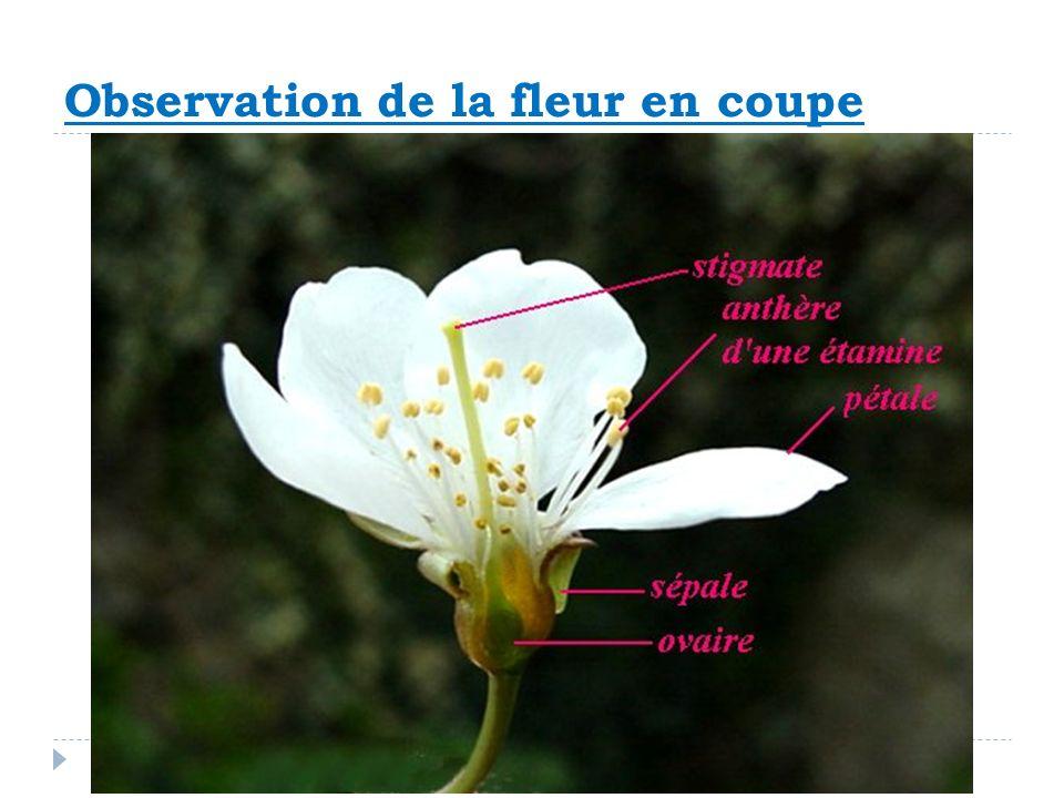 Observation de la fleur en coupe