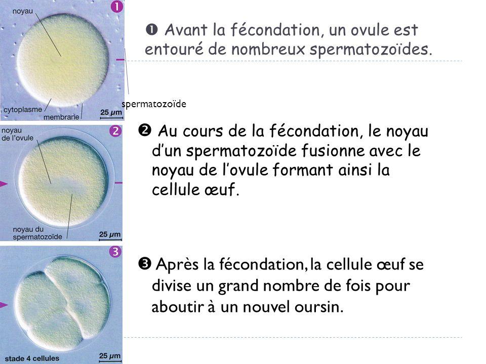 Avant la fécondation, un ovule est entouré de nombreux spermatozoïdes. Au cours de la fécondation, le noyau dun spermatozoïde fusionne avec le noyau d