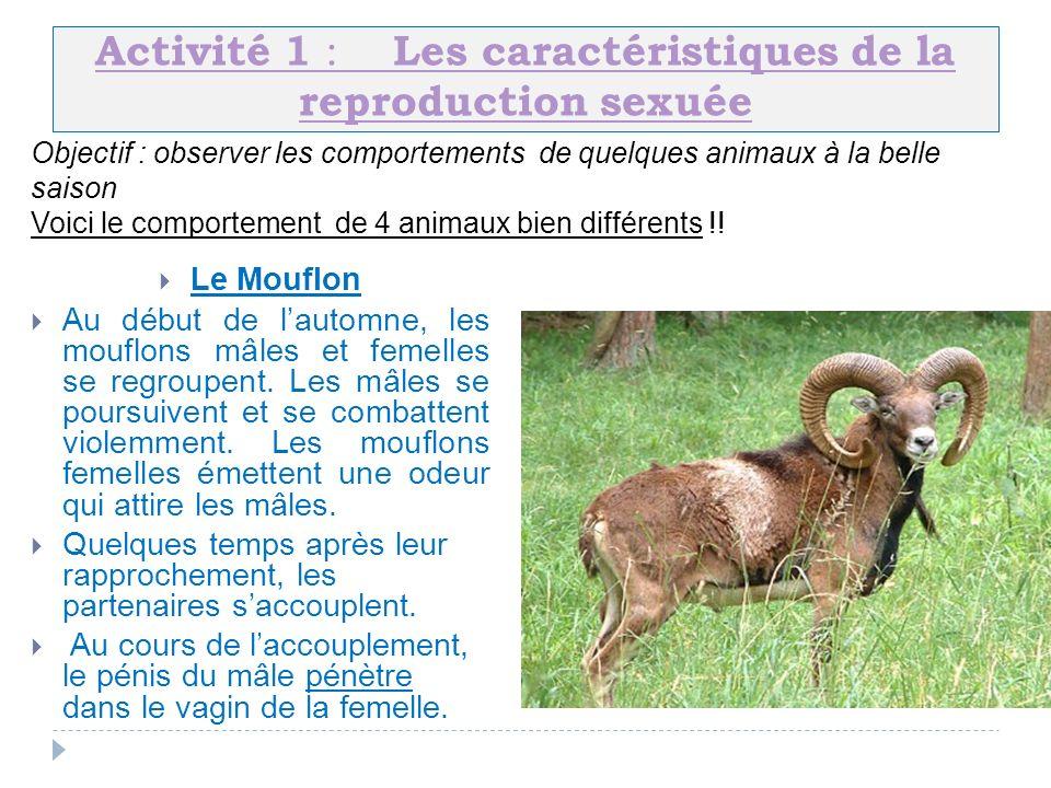 Activité 1 : Les caractéristiques de la reproduction sexuée Le Mouflon Au début de lautomne, les mouflons mâles et femelles se regroupent. Les mâles s