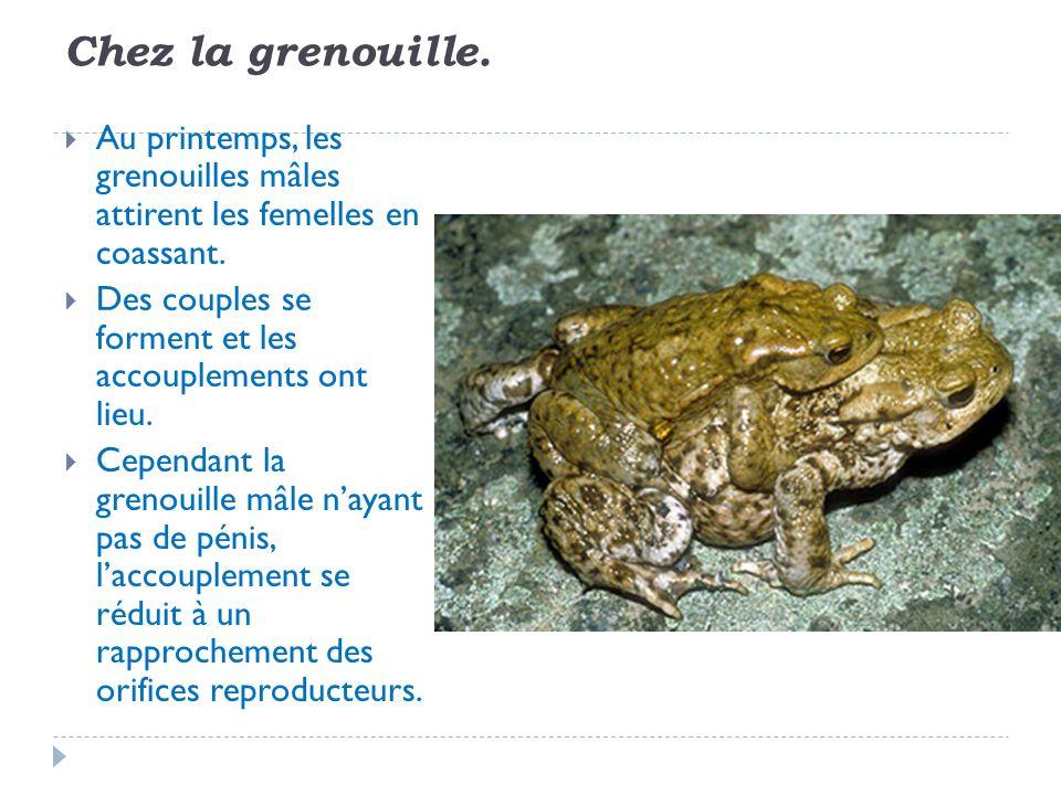 Chez la grenouille. Au printemps, les grenouilles mâles attirent les femelles en coassant. Des couples se forment et les accouplements ont lieu. Cepen