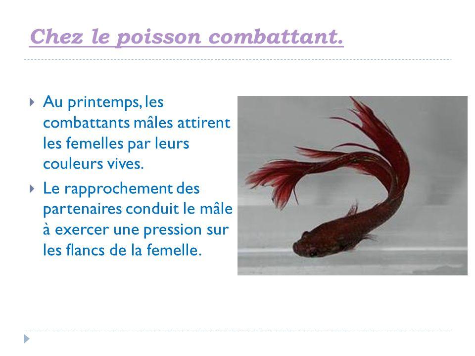 Chez le poisson combattant. Au printemps, les combattants mâles attirent les femelles par leurs couleurs vives. Le rapprochement des partenaires condu