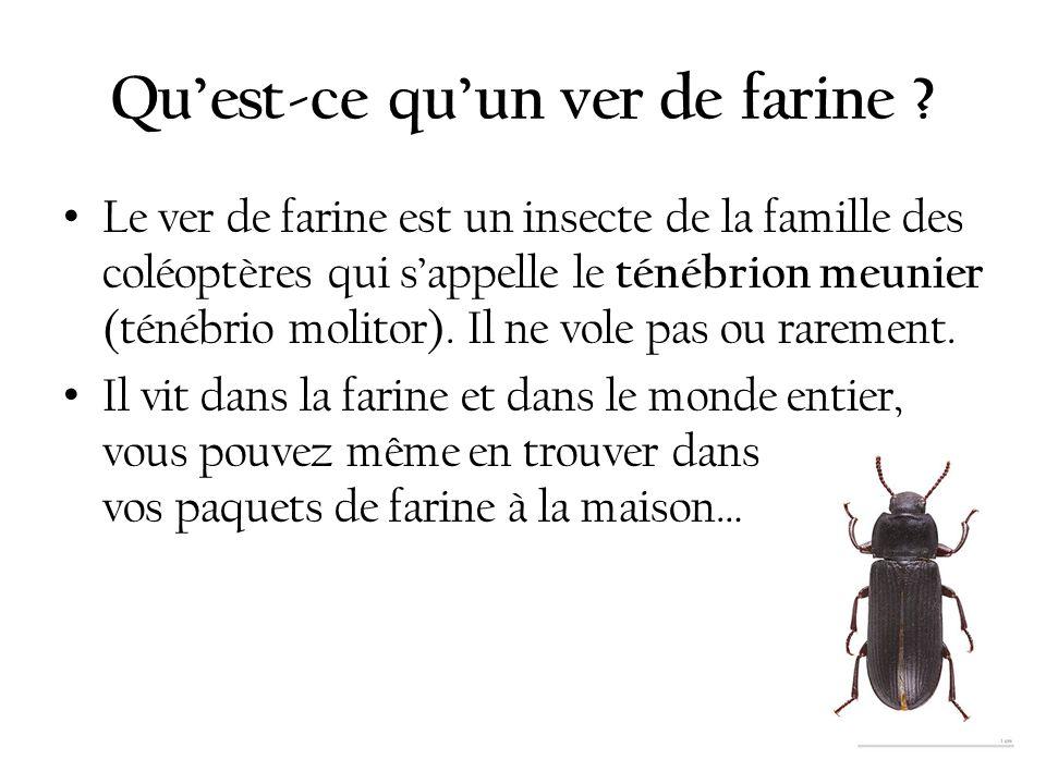 Quest-ce quun ver de farine ? Le ver de farine est un insecte de la famille des coléoptères qui sappelle le ténébrion meunier (ténébrio molitor). Il n