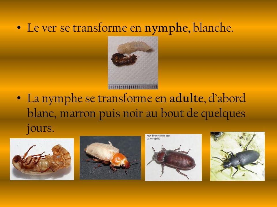Le ver se transforme en nymphe, blanche. La nymphe se transforme en adulte, dabord blanc, marron puis noir au bout de quelques jours.