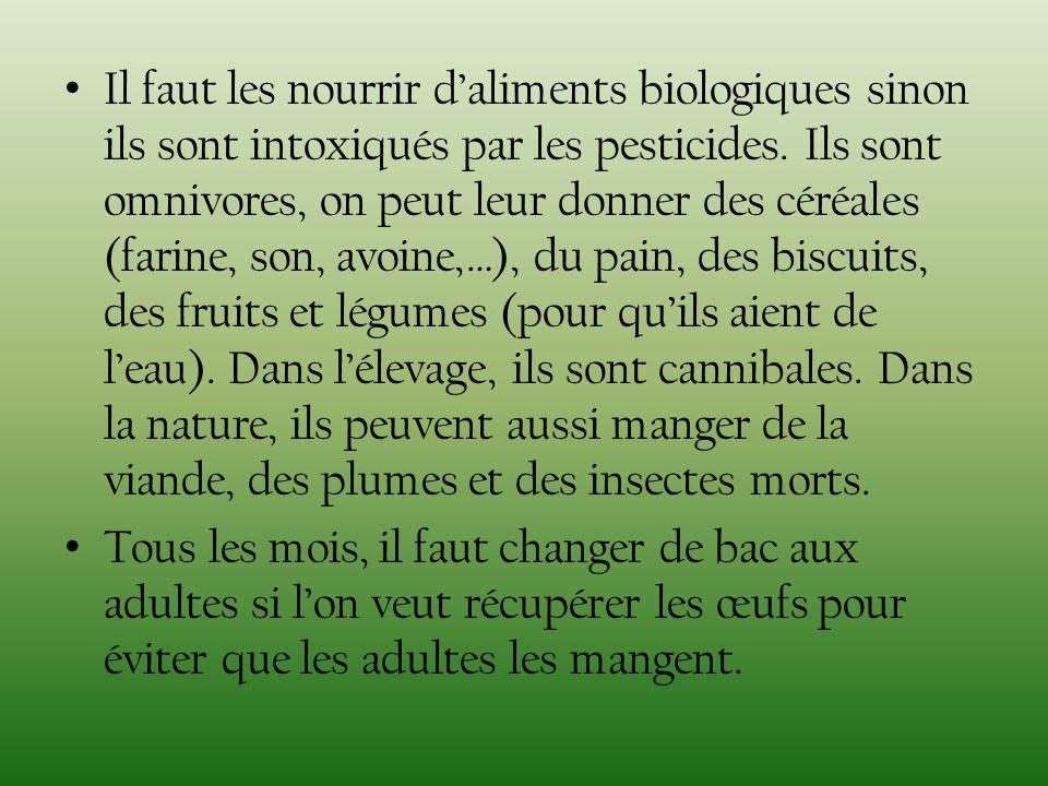 Il faut les nourrir daliments biologiques sinon ils sont intoxiqués par les pesticides. Ils sont omnivores, on peut leur donner des céréales (farine,
