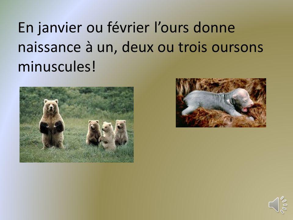 Au début de lhiver, le grizzli dort dans une caverne ou dans une petite grotte quil creuse dans une colline.