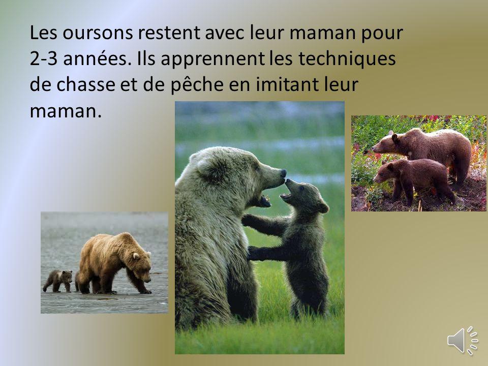 En janvier ou février lours donne naissance à un, deux ou trois oursons minuscules!