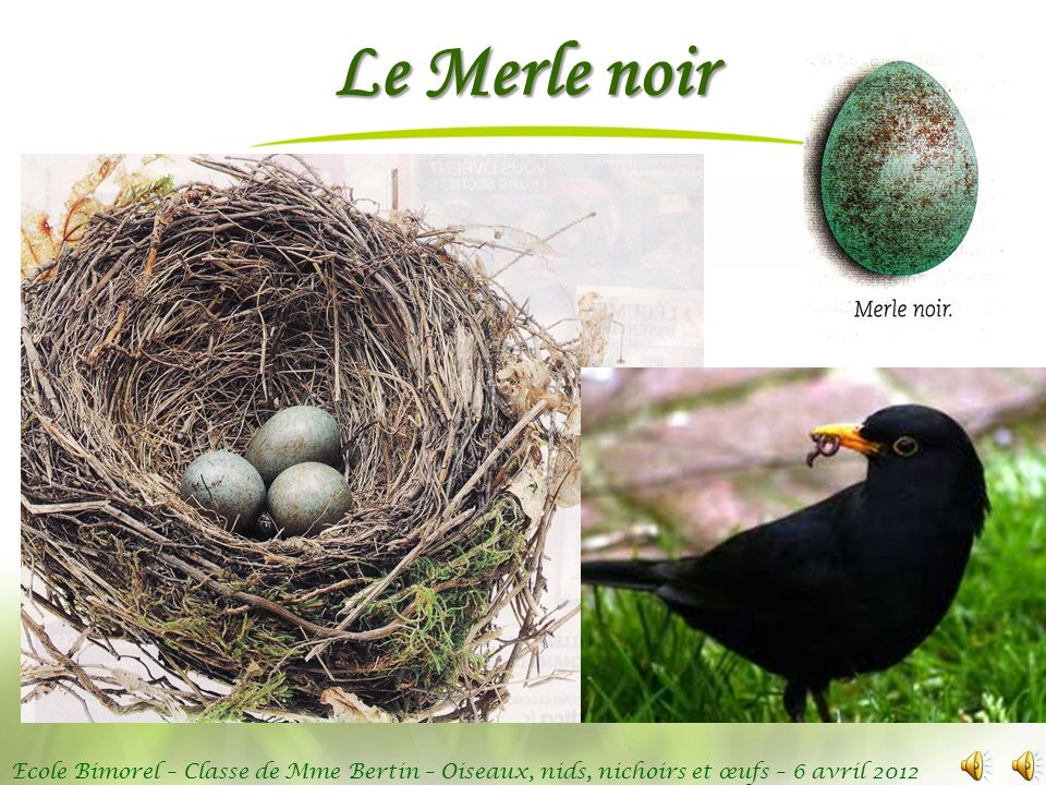 Ecole Bimorel – Classe de Mme Bertin – Oiseaux, nids, nichoirs et œufs – 6 avril 2012 Le Merle noir