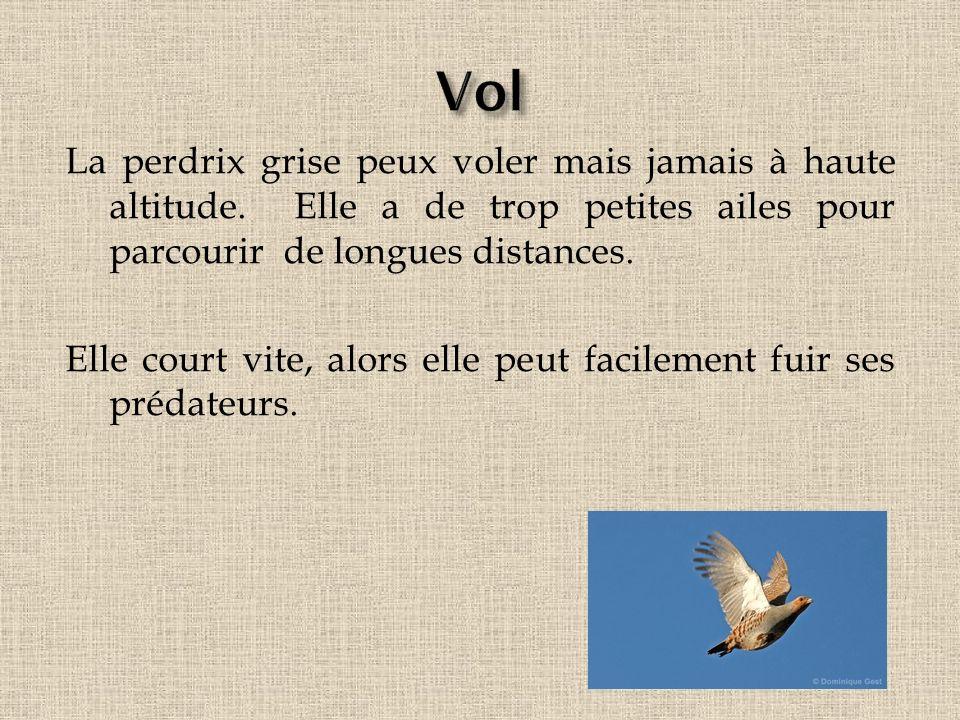 La perdrix grise peux voler mais jamais à haute altitude. Elle a de trop petites ailes pour parcourir de longues distances. Elle court vite, alors ell