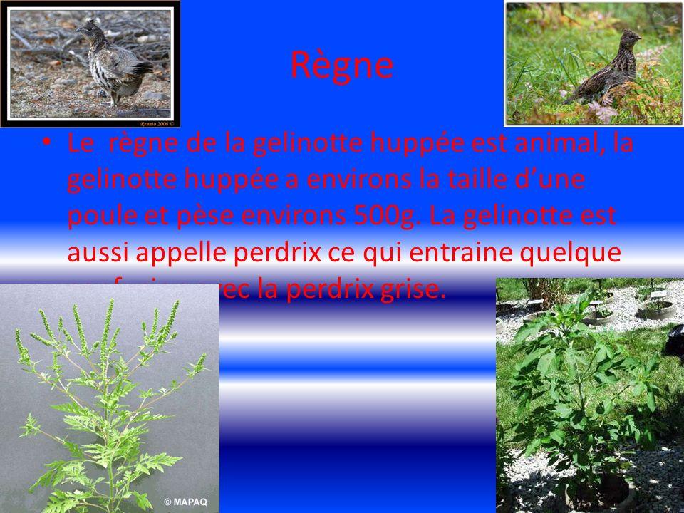 classement Le classement de la gelinotte huppée est (aves) ce qui veut dire en français ( les oiseaux)