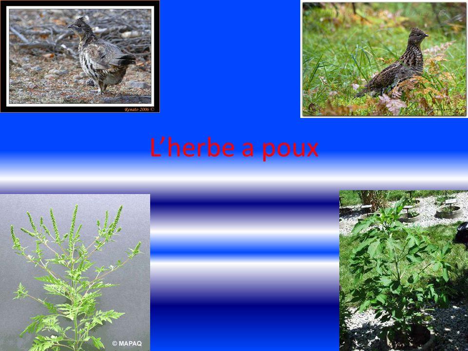 Nom scientifique Ambrosia trifida