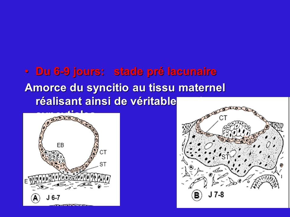 Du 6-9 jours: stade pré lacunaireDu 6-9 jours: stade pré lacunaire Amorce du syncitio au tissu maternel réalisant ainsi de véritables colonnes syncyti