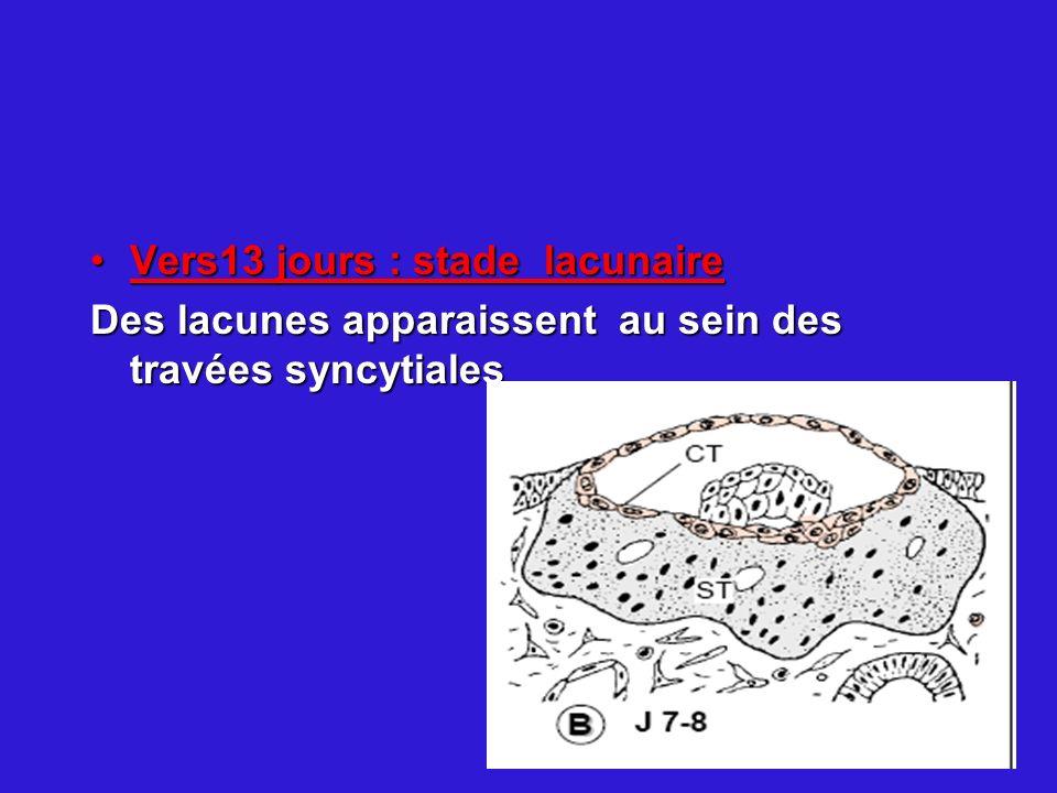 Vers13 jours : stade lacunaireVers13 jours : stade lacunaire Des lacunes apparaissent au sein des travées syncytiales
