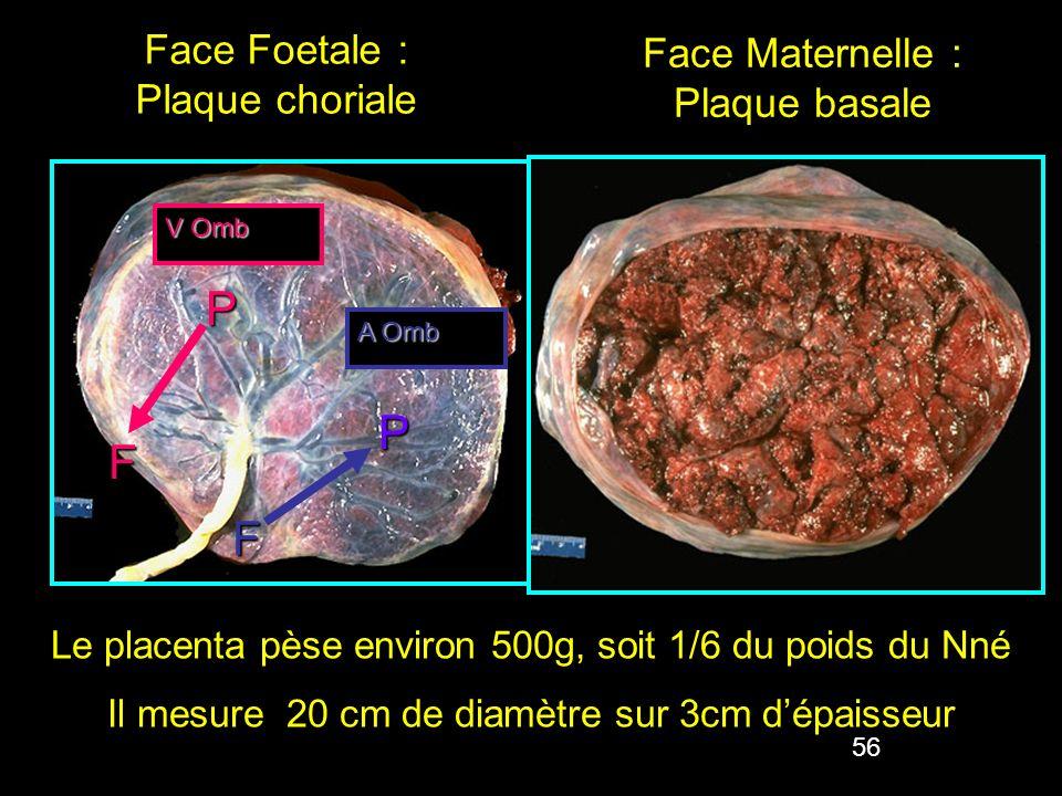 56 Face Foetale : Plaque choriale Face Maternelle : Plaque basale Le placenta pèse environ 500g, soit 1/6 du poids du Nné Il mesure 20 cm de diamètre