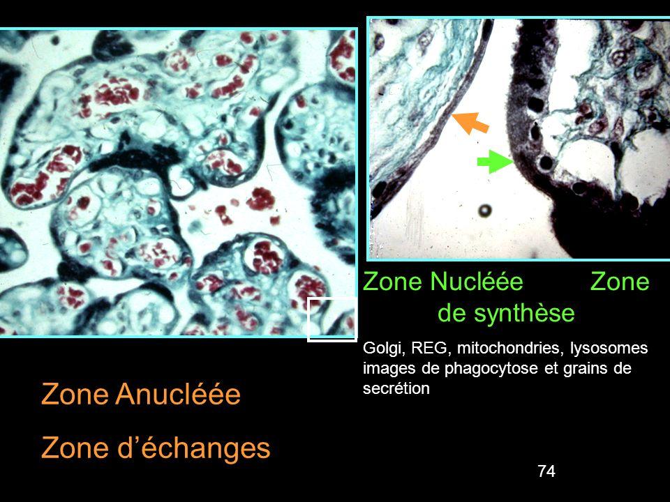 74 Zone Nucléée Zone de synthèse Golgi, REG, mitochondries, lysosomes images de phagocytose et grains de secrétion Zone Anucléée Zone déchanges Tuchma
